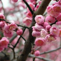 Plum_Blossom_close_Up-IMG_6733_3_-760x573